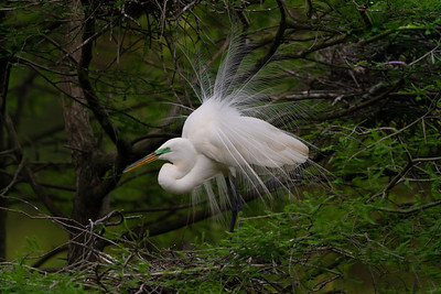 Great Egret during mating season on Avery Island.