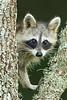 Avery Island Raccoon.