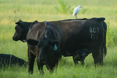 Cattle Egret--get it?