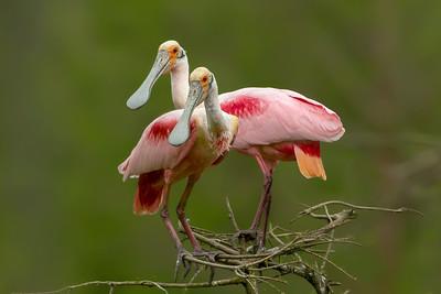 Roseate Spoonbills on Avery Island.