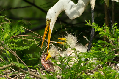 That Great Egret chick tried hard.