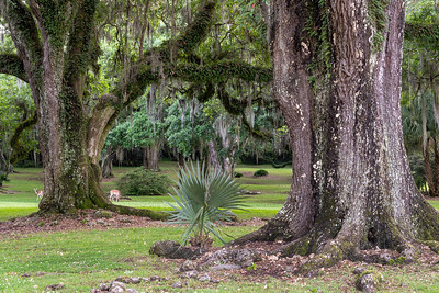 Southern Live Oaks and Resurrection Fern after a spring rain on Avery Island.