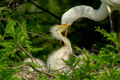 Great Egret parents catch fish and feed their chicks via regurgitation.