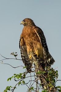 Hawk looking for prey from a high up perch on Avery Island.
