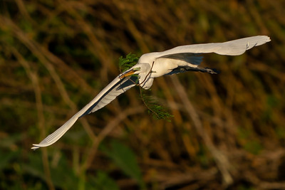 Great Egret bringing home some greenery for the nest.