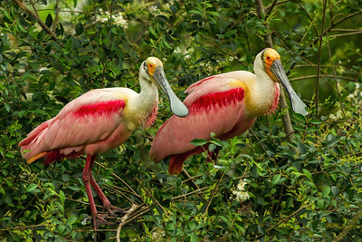 Roseate Spoonbills in Jungle Gardens.