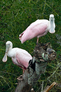 Juvenile Roseate Spoonbills along Bayou Petite Anse