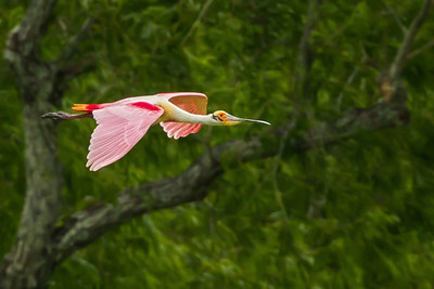 Roseate Spoonbill flying over Jungle Gardens.