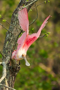 Roseate Spoonbill takes flight on Avery Island.