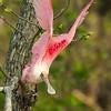 Roseate Spoonbill takes flight on Avery Island.