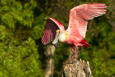The Roseate Spoonbill, still complaining, used its wings to help it recover its balance.