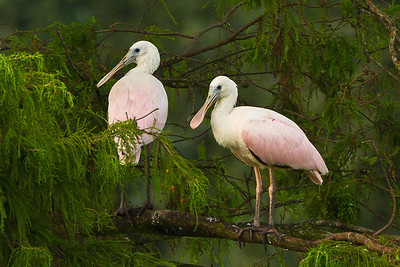 2011 is the first year we have been sure that Roseate Spoonbills were actually nesting in Avery Island's Jungle Gardens. By summer there were several Juvenile Roseate Spoonbills perched in the tallest tree visible from the observation platform in Bird City.