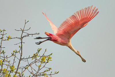 Head first!  Roseate Spoonbill takes flight on Avery Island.