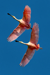 Roseate Spoonbills flying over Bird City in Avery Island's Jungle Gardens.
