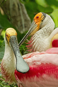 Roseate Spoonbills nesting in Jungle Gardens.
