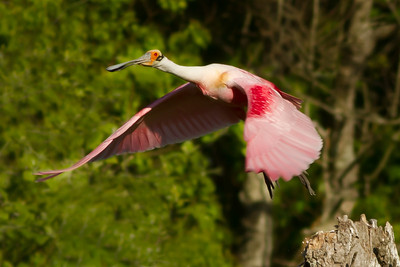 Ultimately, the Roseate Spoonbill decided to look for a friendlier neighborhood.