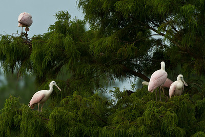 Juvenile Roseate Spoonbills in a treetop in Avery Island's Jungle Gardens.