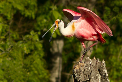 The Roseate Spoonbill complained after an unfriendly crow flew by so close that the spoonbill almost lost its balance.