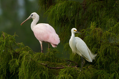 Juvenile Roseate Spoonbill sharing its perch with a Snowy Egret in Avery Island's Jungle Gardens.