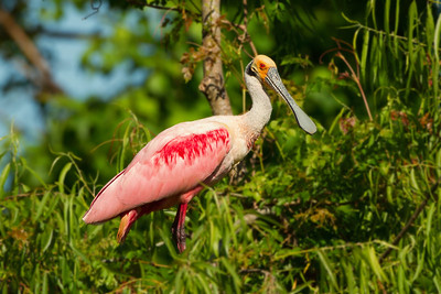 Roseate Spoonbill in Jungle Gardens.