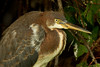 Immature Tricolored Heron at Bird City in Jungle Gardens.