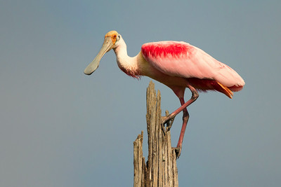 Roseate Spoonbill on Avery Island.