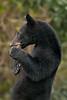 Louisiana Black Bear cub on Avery Island.