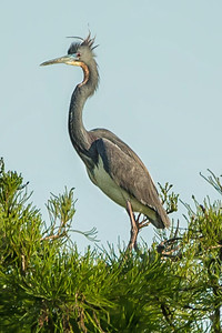 Tricolored Heron sitting treetop at Avery Island's Bird City.