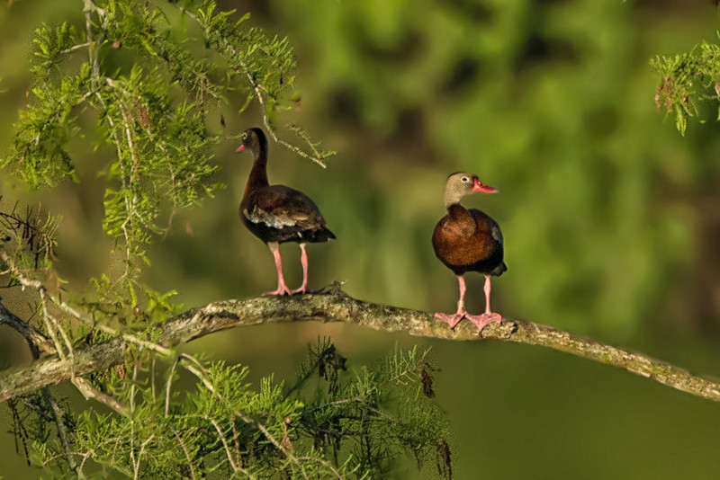 The Fulvous Tree Duck is a whistling duck that breeds across much of Central and South America, Sub-Saharan Africa, the Indian subcontinent, and the Gulf Coast of the United States.  They prefer freshwater lakes with plentiful vegetation, and although they are common, these are the first we have seen on Avery Island.