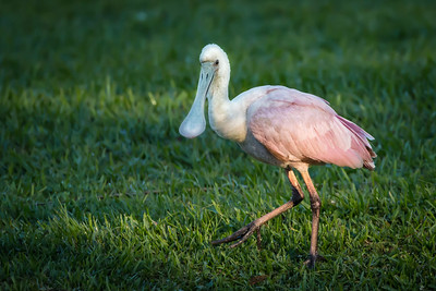 Immature Roseate Spoonbill out for a morning walk on Avery Island, Louisiana.