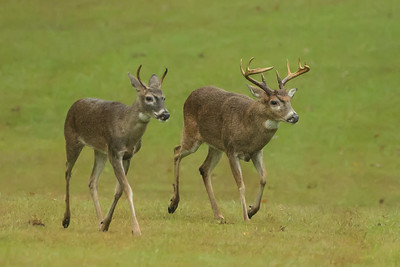 Two bucks on Avery Island, Louisiana.