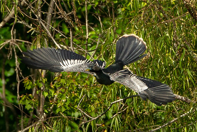 Anhinga in flight on Avery Island.