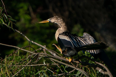 Anhinga on Avery Island.
