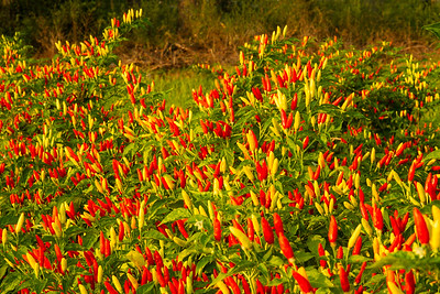 Capsicum frtescens, the peppers used to make TABSCO sauce, at sunrise on Avery Island.