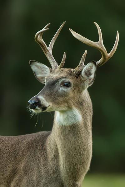 Young buck on Avery Island, Louisiana.