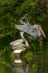 Tri-colored Heron landing on another.