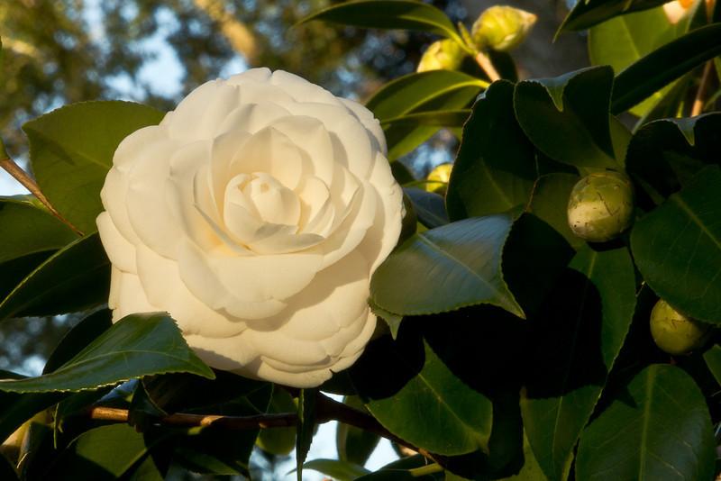 Alba Plana <em>Camellia japonica</em>.