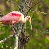 Roseate Spoonbill contemplating flight on Avery Island.