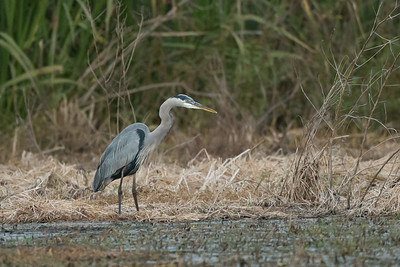 Great Blue Heron on Avery Island.