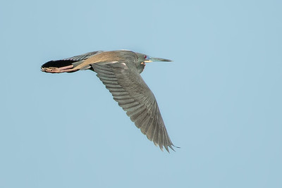 Tricolored Heron flying over Avery Island's Bird City.
