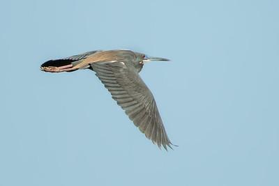 Tricolored Heron flying over Avery Island's Bird City.