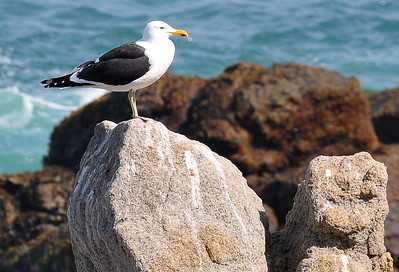 The Kelp Gull (Larus dominicanus) profile, perched on a rock near Vina Del Mar, chile 2008