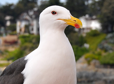 The Kelp Gull (Larus dominicanus)Extreme close up with tell tail orange dot on beak. Zapallar, Chile 2008