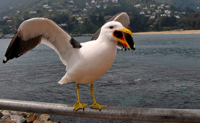 The Kelp Gull (Larus dominicanus) Waiting for a bite. Zapallar, Chile 2008