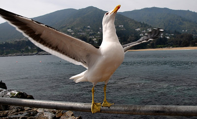 The Kelp Gull (Larus dominicanus) Zapallar, Chile 2008.