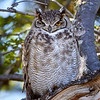 Tucúquere |  Bubo virginianus  |  Great Horned Owl