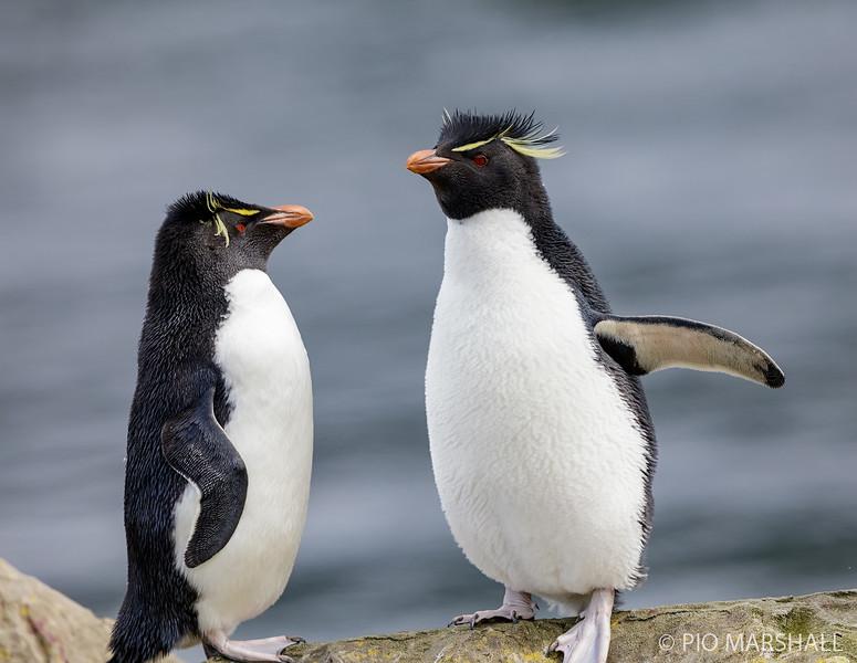 Pingüino de penacho amarillo |  Eudyptes chrysocome  |  Rockhopper Penguin