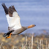 Canquén colorado |  Chloephaga rubidiceps  |  Ruddy-headed Goose