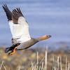 Canquén colorado |  Chloephaga rubidiceps  |  Ruddy-headed Goose