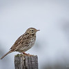 Bailarín chico común |  Anthus correndera  |  Correndera Pipit